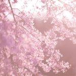 室内で桜が楽しめる!銀座ライオンのお花見ビヤホールが良すぎる4つのポイント♡