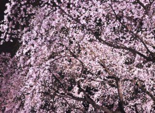 渋谷ESOLAのお花見バルの9つの魅力|3000本の桜の中で乾杯しちゃおう♡