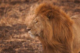 【夢占い】良くも悪くもパワーの象徴!ライオンの夢の意味18選
