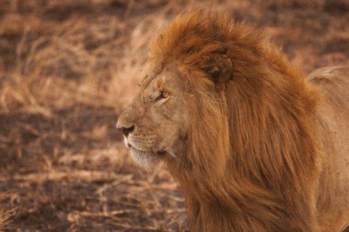 ライオン夢占い